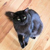 Domestic Mediumhair Kitten for adoption in Morganton, North Carolina - Rebecca