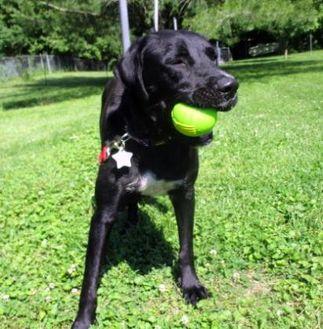 Labrador Retriever Mix Dog for adoption in Chicago, Illinois - Gypsy