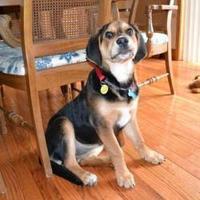 Shepherd (Unknown Type)/Hound (Unknown Type) Mix Puppy for adoption in Rochester Hills, Michigan - Lacey
