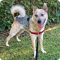 Adopt A Pet :: Beau - Pittsburgh, PA