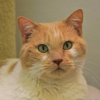 Domestic Shorthair/Domestic Shorthair Mix Cat for adoption in Woodinville, Washington - Roxy