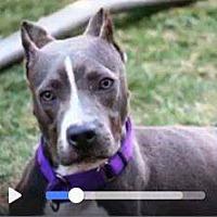 Adopt A Pet :: Tallulah - Whitestone, NY