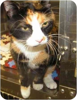 Calico Cat for adoption in Marseilles, Illinois - Sophia