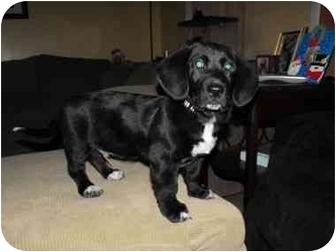Beagle/Corgi Mix Puppy for adoption in Plainfield, Illinois - Snoopy