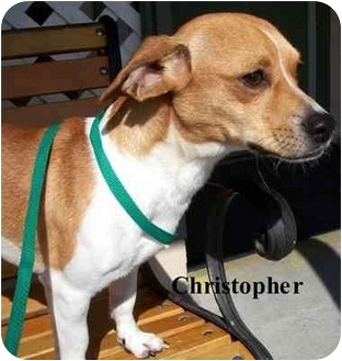 Jack Russell Terrier Mix Dog for adoption in Slidell, Louisiana - Christopher