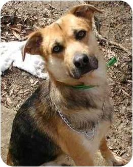 Shepherd (Unknown Type) Mix Dog for adoption in Greensboro, North Carolina - Cody