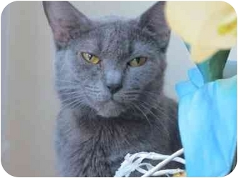 Russian Blue Cat for adoption in Long Beach, New York - Moochie