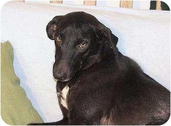Greyhound/Labrador Retriever Mix Dog for adoption in Austin, Texas - Bela