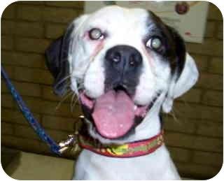 Boxer Dog for adoption in Scottsdale, Arizona - Esmeralda