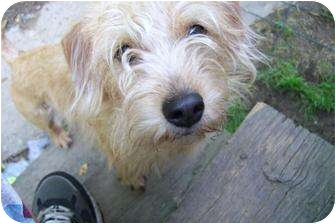 Goldendoodle/Poodle (Miniature) Mix Dog for adoption in New Jersey, New Jersey - NJ - Sandy