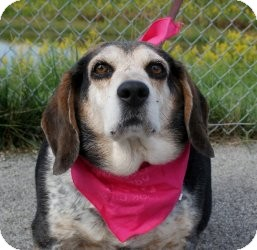 Beagle Mix Dog for adoption in Indianapolis, Indiana - Sophie--Adoption Pending