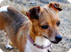 Jack Russell Terrier/Chihuahua Mix Dog for adoption in Encino, California - Lady