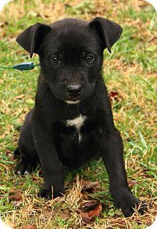 Boxer/Labrador Retriever Mix Puppy for adoption in Staunton, Virginia - Keaton