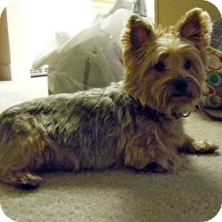 Yorkie, Yorkshire Terrier Dog for adoption in Spring Hill, Florida - Precious