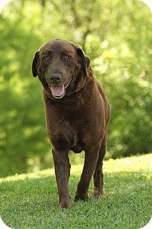 Labrador Retriever/Chesapeake Bay Retriever Mix Dog for adoption in Knoxville, Tennessee - Bull E. Dozer