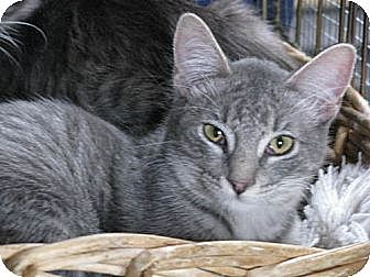 Domestic Shorthair Cat for adoption in Maywood, Illinois - Jack