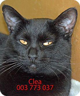 Domestic Mediumhair Cat for adoption in Diamond Springs, California - Clea