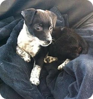 Beagle/Blue Heeler Mix Puppy for adoption in Hainesville, Illinois - Pepper