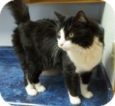 Domestic Mediumhair Cat for adoption in Silver City, New Mexico - Sebastian