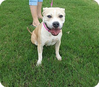 Pit Bull Terrier Mix Dog for adoption in Wichita Falls, Texas - Quinn