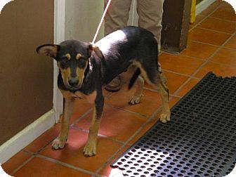 Doberman Pinscher/Hound (Unknown Type) Mix Dog for adoption in Boston, Massachusetts - REEBOK