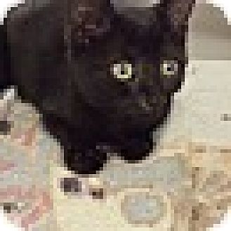 Domestic Shorthair Kitten for adoption in Richboro, Pennsylvania - Aretha Franklin