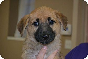 Labrador Retriever/Shepherd (Unknown Type) Mix Puppy for adoption in Mt Sterling, Kentucky - Brandy