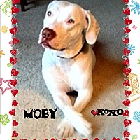 Adopt A Pet :: MOBY - Higley, AZ