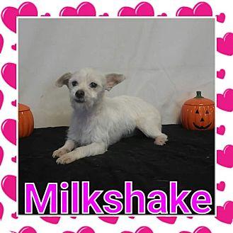Cairn Terrier/Border Terrier Mix Puppy for adoption in Pahrump, Nevada - Milkshake