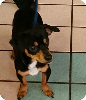 Chihuahua/Dachshund Mix Dog for adoption in Las Vegas, Nevada - Butch Cassidy