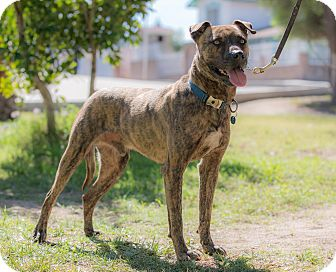 American Staffordshire Terrier Mix Dog for adoption in Poway, California - BENSON