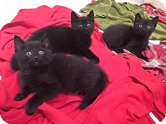 Domestic Shorthair Kitten for adoption in Chicago, Illinois - Jerry