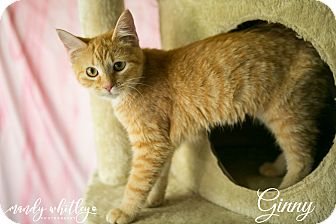 Domestic Shorthair Cat for adoption in Columbia, Tennessee - Ginny