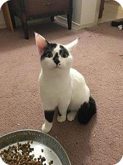 Domestic Shorthair Cat for adoption in Wasilla, Alaska - Tip