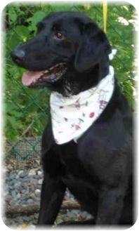 Labrador Retriever Dog for adoption in Wyoming, Minnesota - Fletcher- Purebred