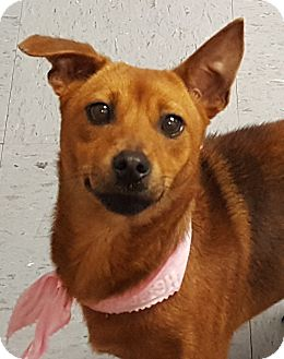 Manchester Terrier Mix Dog for adoption in Friendswood, Texas - Foxy- adoption fee just $50