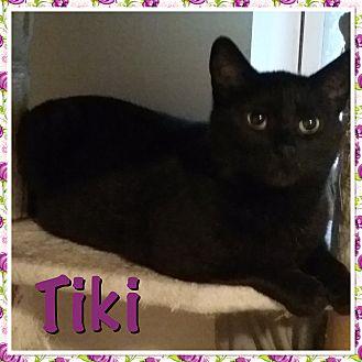 Domestic Shorthair Cat for adoption in Cedar Springs, Michigan - Tiki