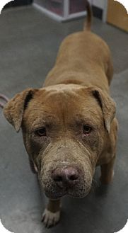 Pit Bull Terrier/Mixed Breed (Large) Mix Dog for adoption in Farmington, New Mexico - Mary Jane