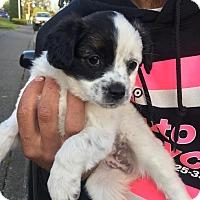 Adopt A Pet :: Calla Lily - Clackamas, OR