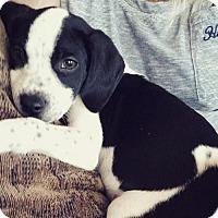 Adopt A Pet :: Sherlock - Centreville, VA
