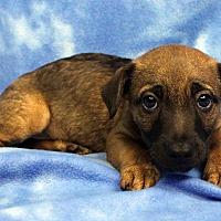 Adopt A Pet :: Dozer - Westminster, CO