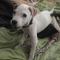 Adopt A Pet :: A444536 Creamsicle - San Antonio, TX