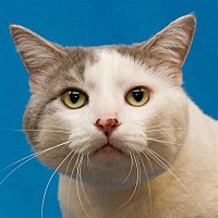 Adopt A Pet :: Lil' Rascal - Westland, MI