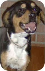 Manchester Terrier Mix Puppy for adoption in Columbus, Ohio - LENNY