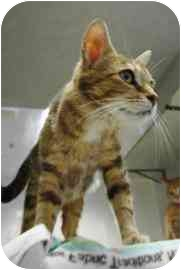 Domestic Shorthair Cat for adoption in Walker, Michigan - Callie