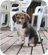 Beagle Mix Puppy for adoption in Okotoks, Alberta - Botticelli
