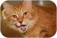 Domestic Mediumhair Cat for adoption in Walker, Michigan - Garfield