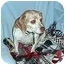 Photo 1 - Beagle Dog for adoption in Cole Camp, Missouri - Tippy
