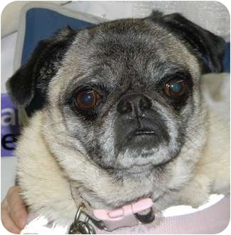 Pug Dog for adoption in Hinckley, Minnesota - Mimi