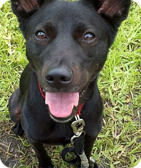 Schipperke/Terrier (Unknown Type, Small) Mix Puppy for adoption in Coral Springs, Florida - Midnight